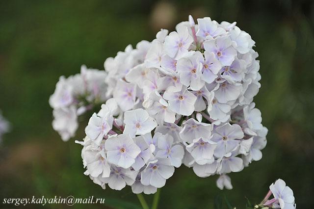 Флокс метельчатый  Lavendelwolke (1).JPG