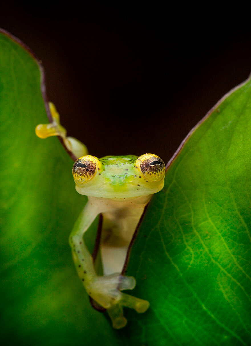 A glass frog, Hyalinobatrachium ruedai, peers through a leaf