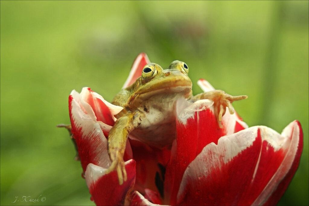 Про лягушку на тюльпане...