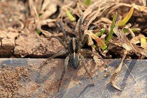 Пушисто-мохнатый паук-волк (Lycosidae) и прошлогодняя трава