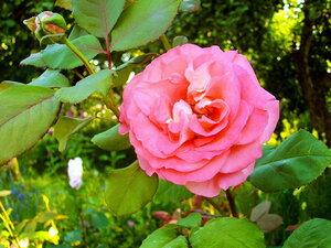 Прелестная роза в саду расцвела!