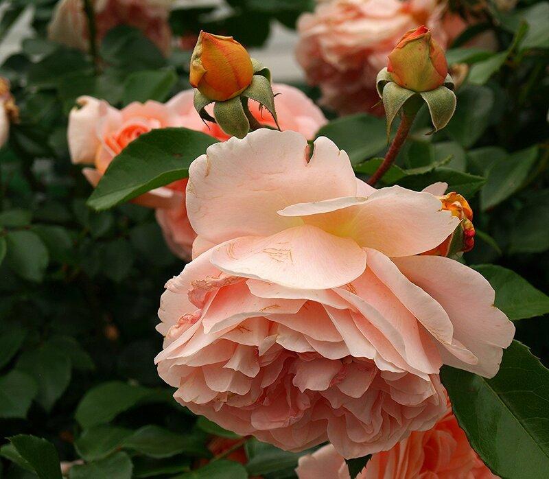 Розы в июне