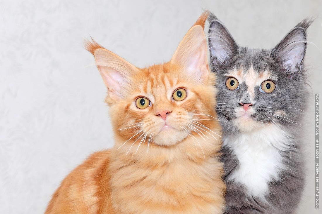 котята Мейн-кун фото