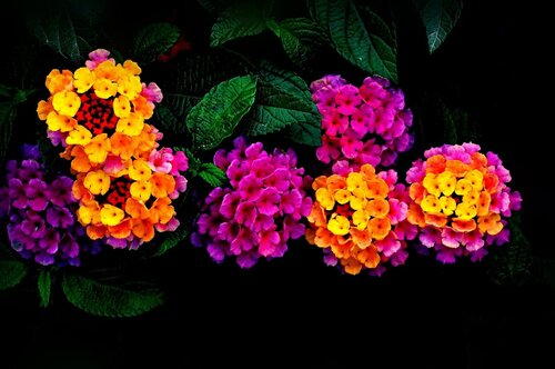 ♥♥♥ Lantana Flowers ♥♥♥ Desktop Background