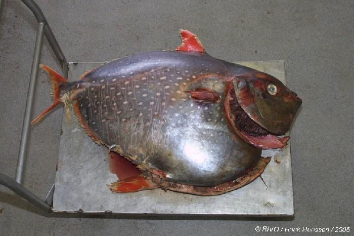 Красноперый опах  Рыбы