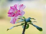 Adenium Obesum Double Flower PINK SHIMMER