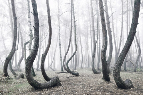 Чудеса природы - Кривой лес в Польше