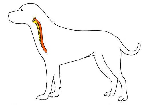 trachea-larynx.jpg