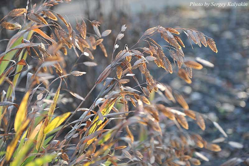 Chasmanthium latifolium (6).JPG