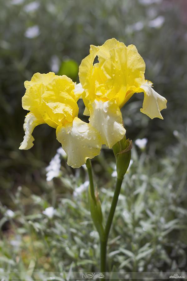 Я люблю все цветы, выпуск #106 | «И́рис - цветок богини Ириды ».