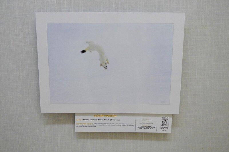 Белый прыжок. Мариан Артнак (Словения). Белый горностай в прыжке. На фестивале дикой природы Золотая Черепаха