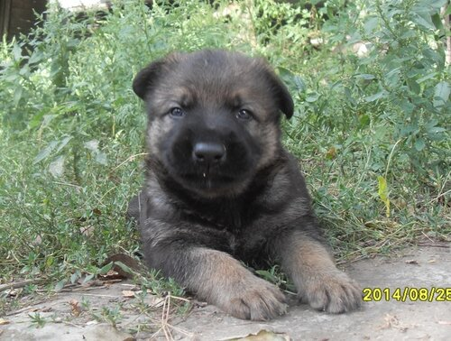 Родились щенки от Charly v. Rio Negro и Lola iz Peschanki 0_e8d66_97360fc2_L