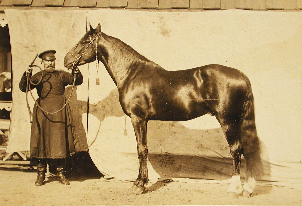 36. Жеребец конного завода Феодосьева и Суручана, экспонирующийся на выставке