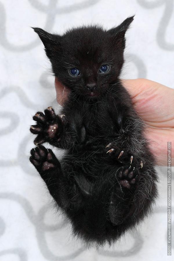 пантеретта котенок фото