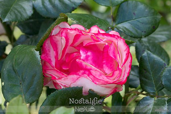 Я люблю все цветы, выпуск 116 | Роза - «Королева цветов» | «Nostalgie», «Gloria Dei» b50и «Velvet Queen».