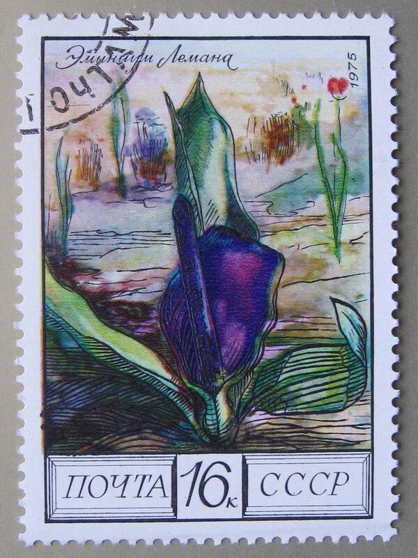 Эминиум Лемана (Eminium Lehmanii).