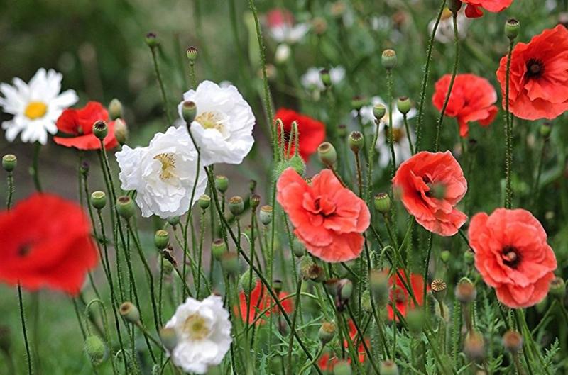 Какие цветы можно посадить под зиму - 20 однолетников-Мак