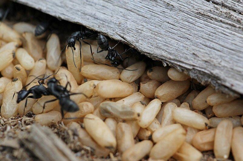 яйца бурого лесного муравья (Formica fusca) в муравейнике