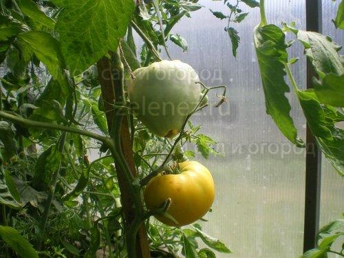 Первый помидор Золотых куполов.