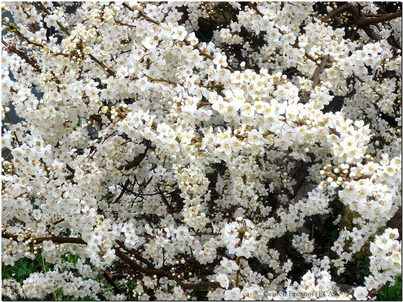 Погружение в цветущую алычу