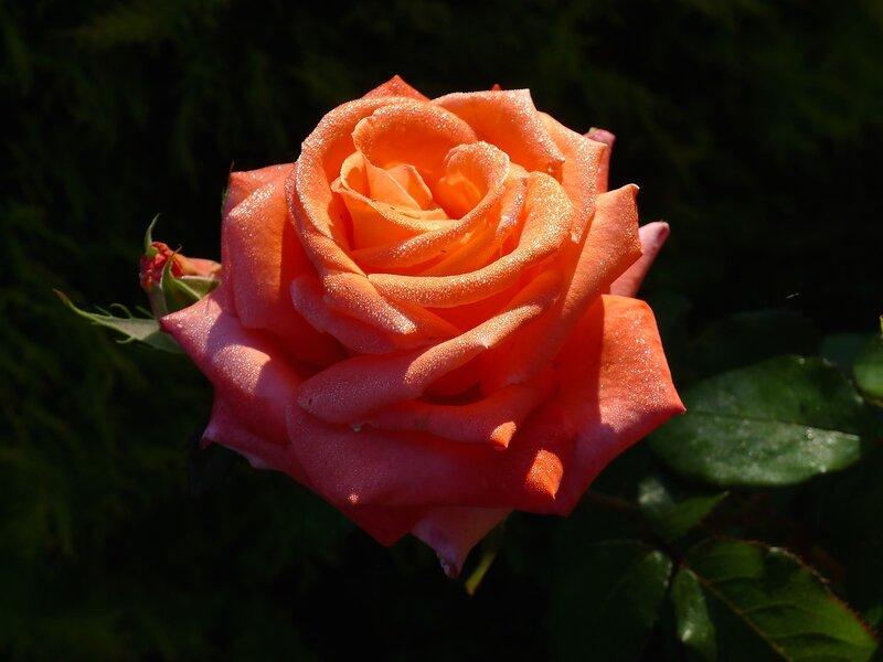 Роза Super Star