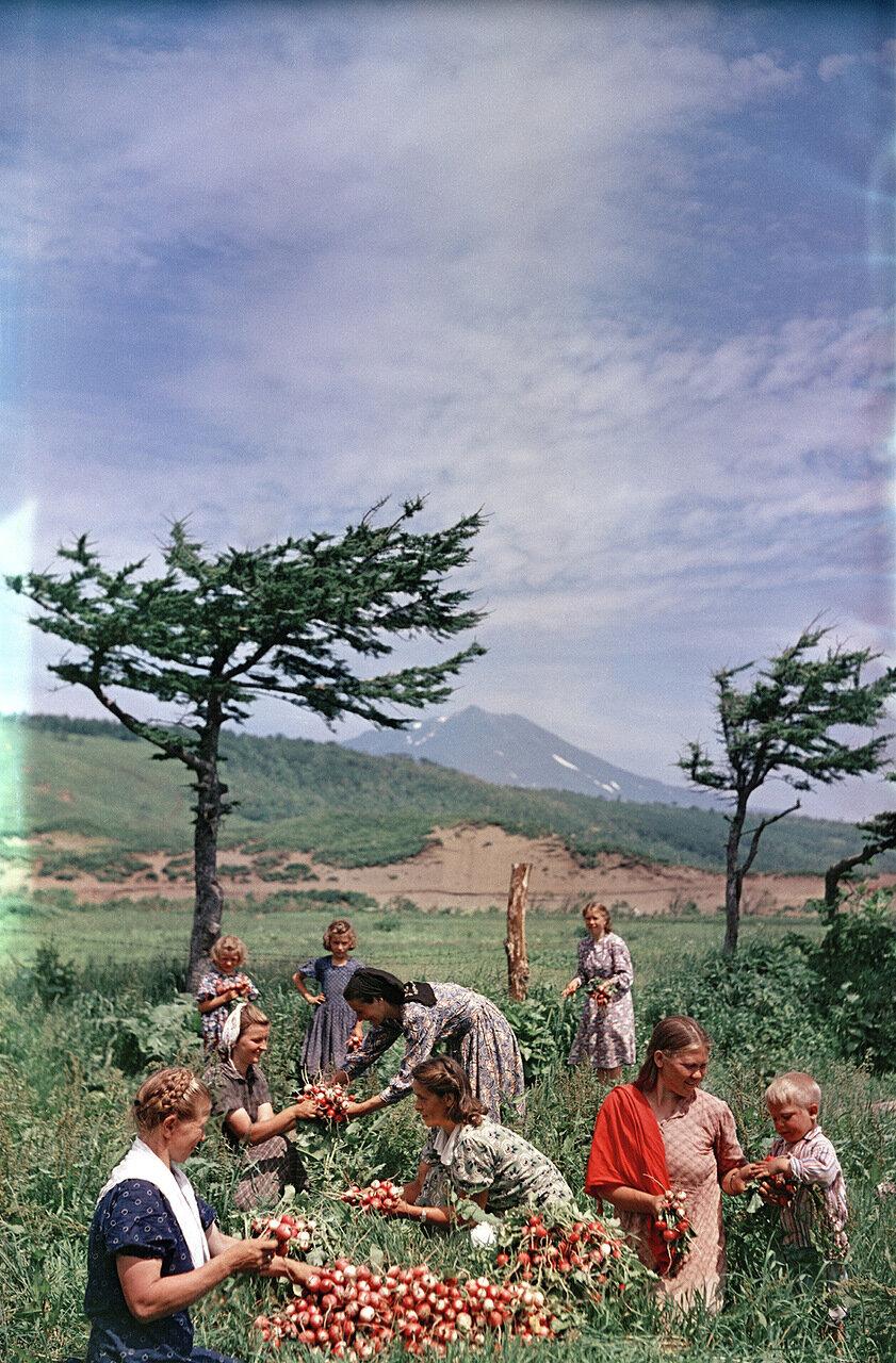 Остров Итуруп, сбор редиски в Курильском совхозе