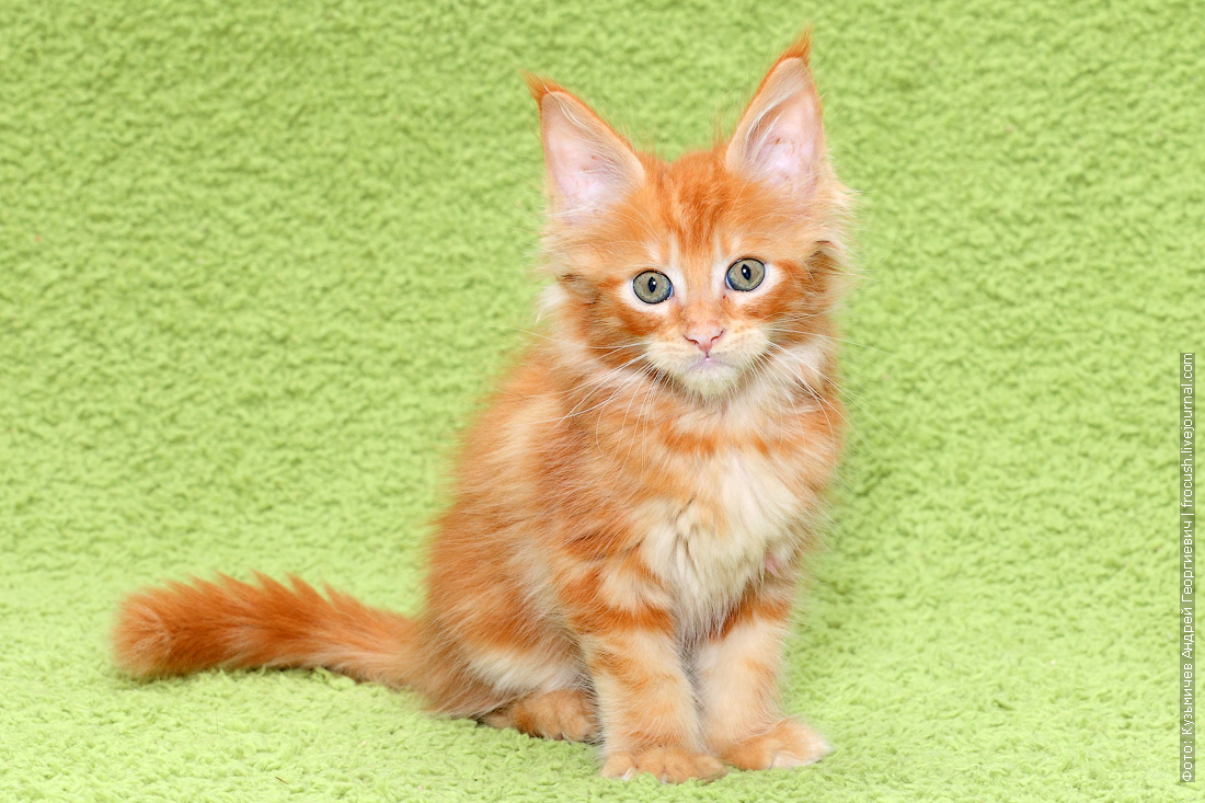 купить котенка мейн кун в Москве