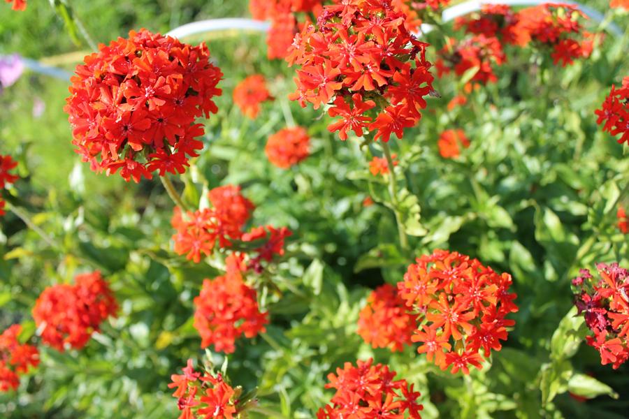 Фотоальбом «Лучшее из сада»-Лихнис красный