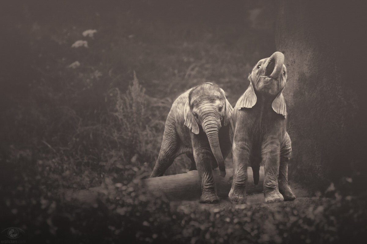 World Elephant Day – August 12th, 2014I have spent hours and hours watching elephants, and come to understand what emotional creatures they are…it's not just a species facing extinction, it's massive individual suffering. (Dr. Jane Goodall)Every 1