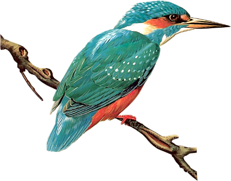 Bird27_kingfisher_dhedey.png