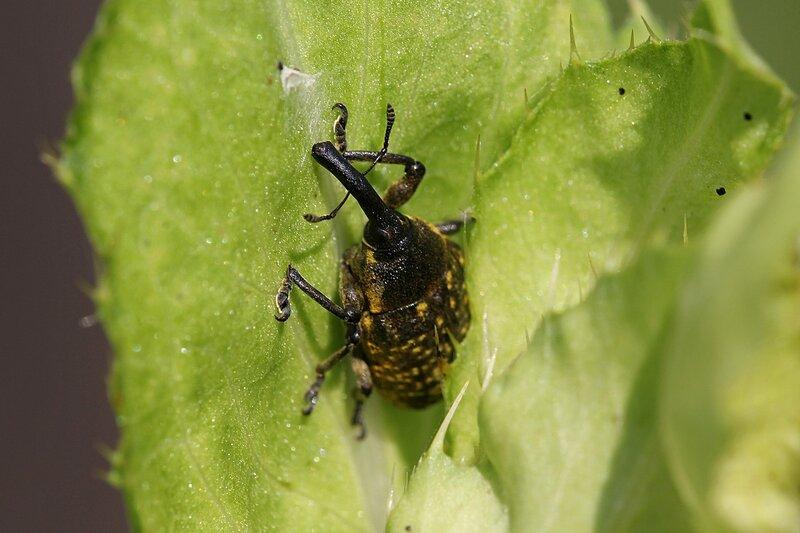 Жук-долгоносик (слоник) Ларин чертополоховый (Larinus sturnus)  на листе бодяка огородного (лат. Cirsium oleraceum)
