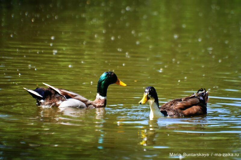 Птицы в городском парке, Саратов, 31 мая 2015 года