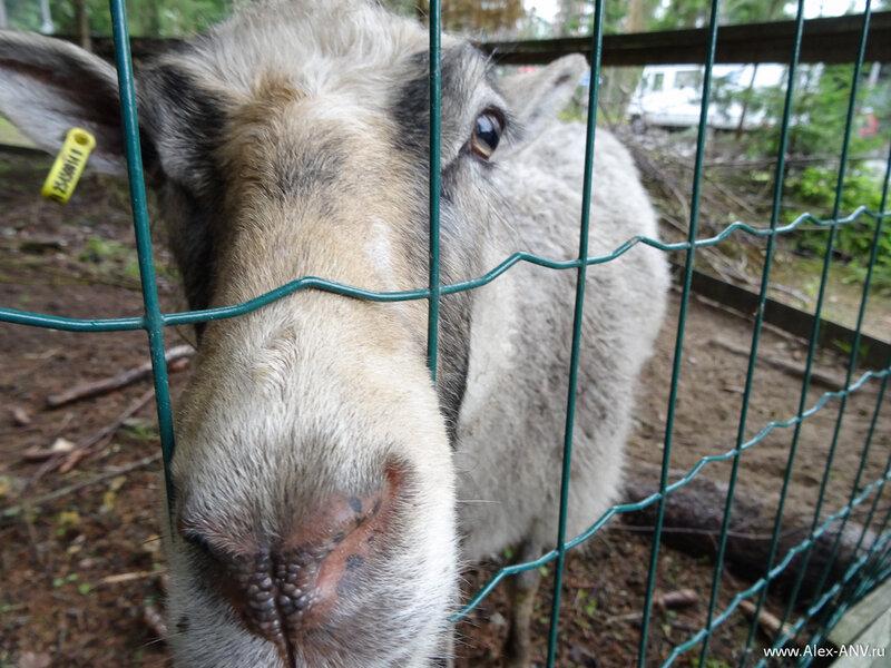 Нос, просто нос. br / Маршрут 'Oravаreitti' начинается в кемпинге Ювы. А в этом кемпинге обнаружился маленький зоопарк - овцы, кролики и курицы с петухом. Детишки были счастливы.