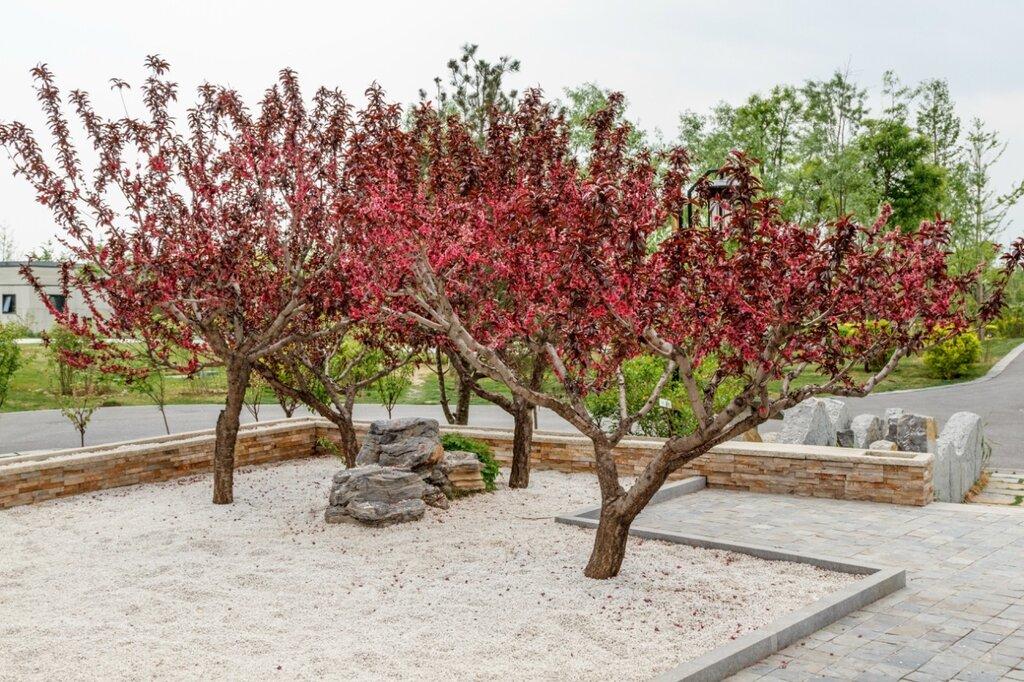 Персиковые деревья, сад Чандэ, парк-выставка садов, Пекин