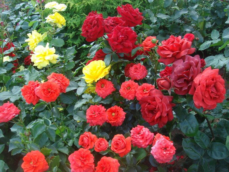 Сад роз в Подмосковье