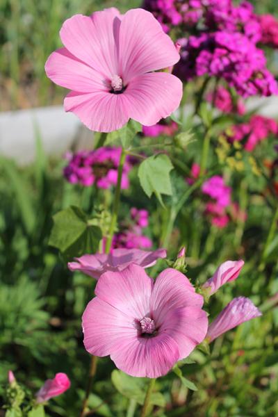 Какие цветы можно посадить под зиму - 20 однолетников-Лаватера