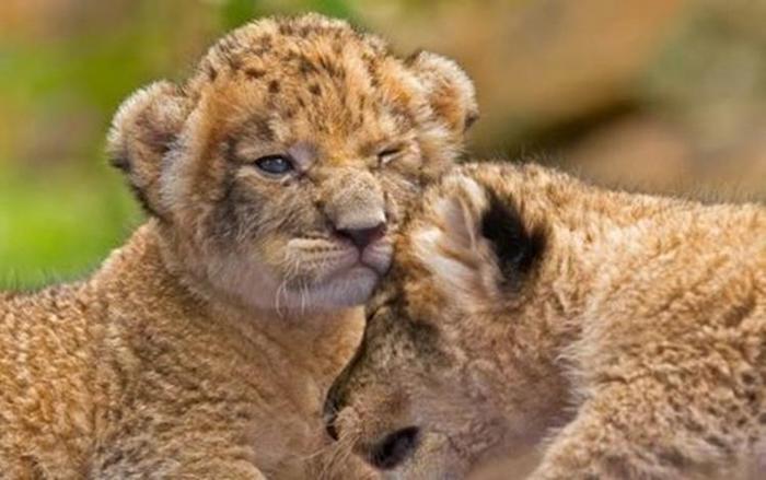 Детеныши львов и леопардов