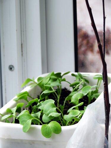 Овощи на балконе: лук, редис, салат, томаты - webgarden - со.