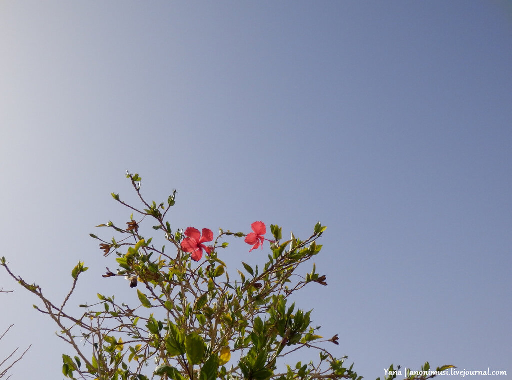 Египетские цветы