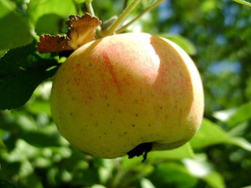Яблочко-2.JPG