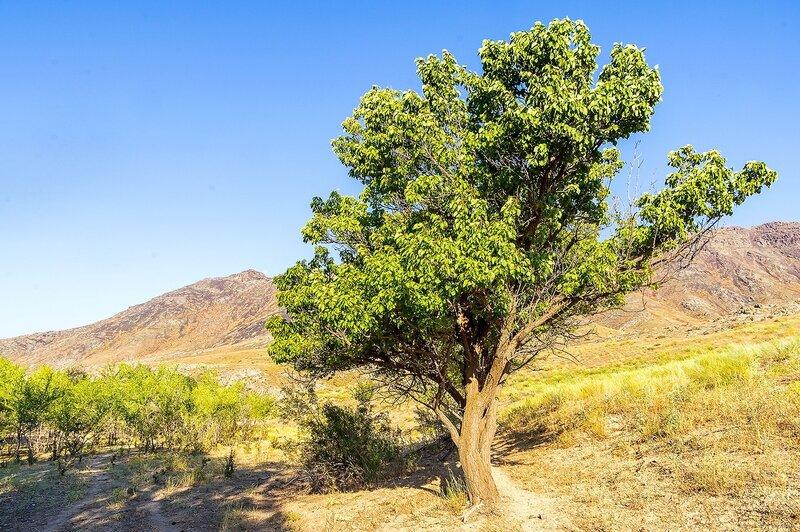 Старая урючина (абрикосина)