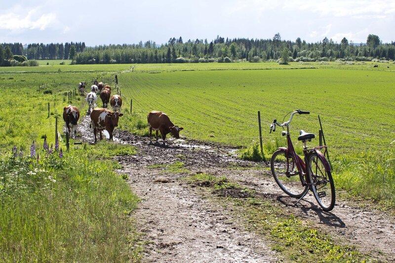 финские коровы