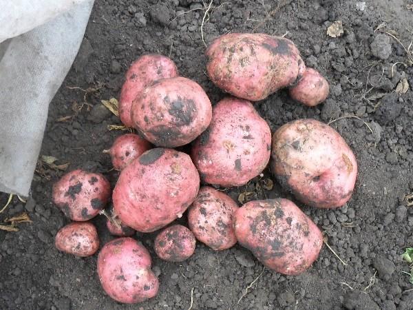 Вот и выкопали картошку