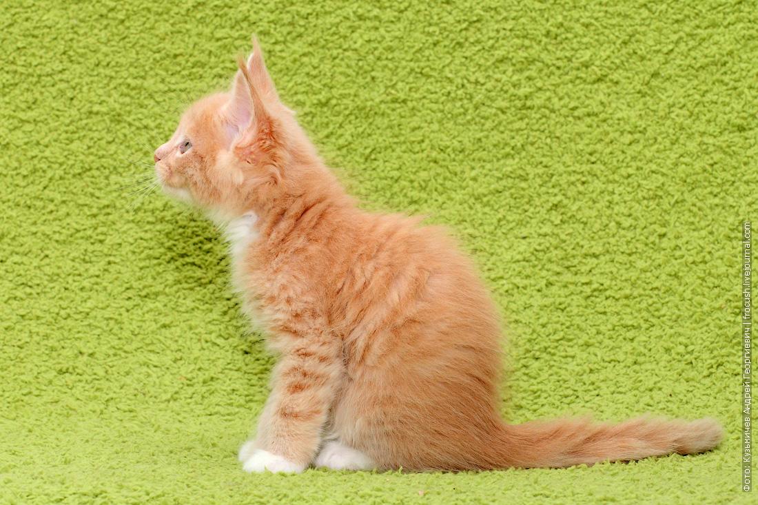 смотреть бесплатно мейн-кун котята