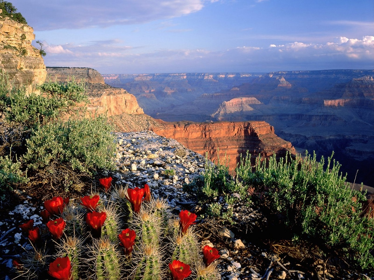 Grand Canyon cactus flowers