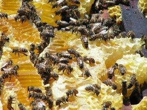 Лечебные свойства прополиса и мёда