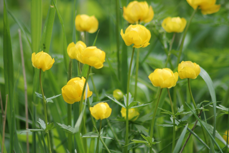 Какие цветы можно посадить под зиму - 24 многолетника-Купальница