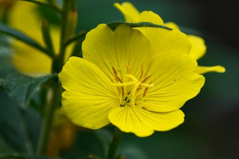Какие цветы можно посадить под зиму - 24 многолетника-Энотера