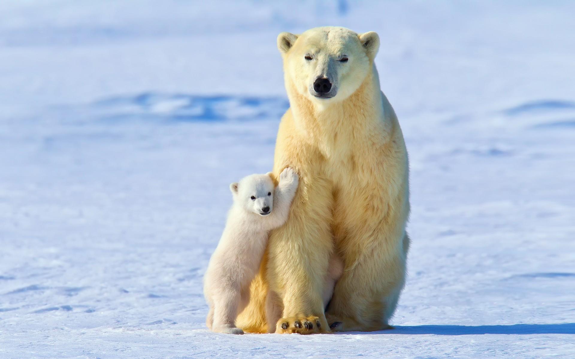 большой и маленький белый медведь