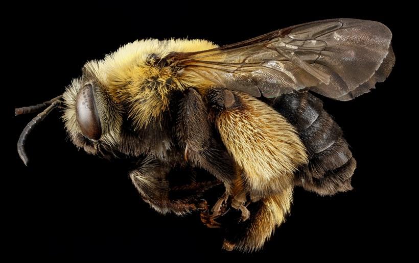 Макрофотографии разноцветных американских пчел 0 13d29f 9731ce65 orig